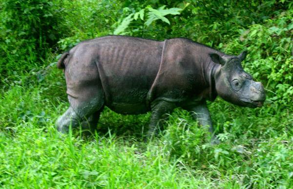Tam,大概是世界上最後一只雄性婆羅洲犀牛了。攝影:Jeremy Hance