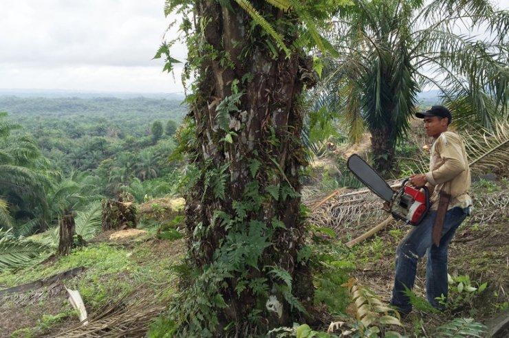 一名工友在印度尼西亞亞齊的非法棕櫚油種植園進行伐木。