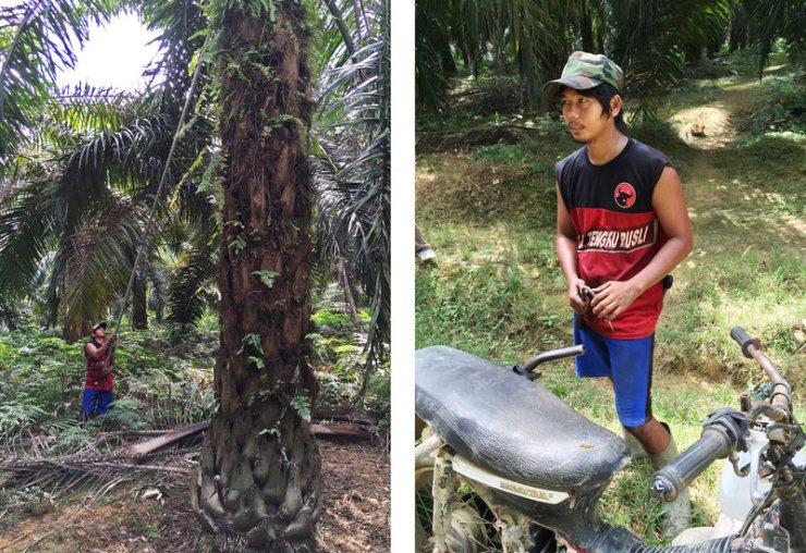 左圖為蘇嘉拓(Sugiarto)在收割棕油果。右圖為蘇嘉拓(Sugiarto)巡視棕櫚油種植園的摩托車。