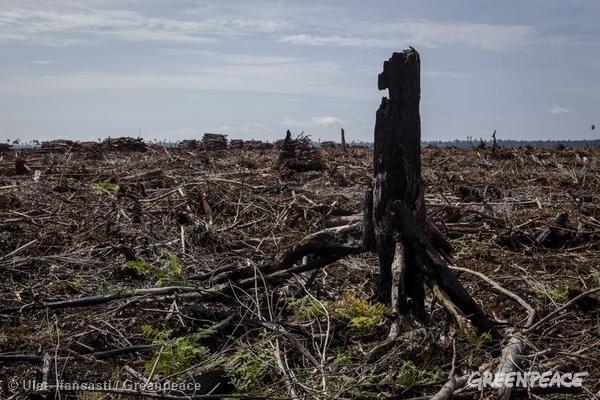 11月,APRIL幾近完全清空雨林,毀林現場堆滿製造漿紙用的木材。