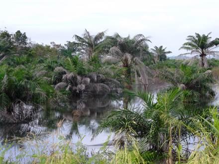 遭淹沒的棕櫚種植園,廖內(Deltares,2014年)