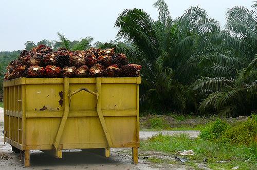 印尼婆羅洲的棕櫚樹採收。圖片來源:Rainforest Action Network(CC BY-NC 2.0)
