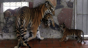 Malayan-tiger-listed-as-critically-endangered-Now-what-2_540x300