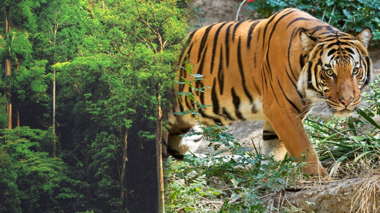 Malayan-tiger-listed-as-critically-endangered-Now-what_CH_785x442