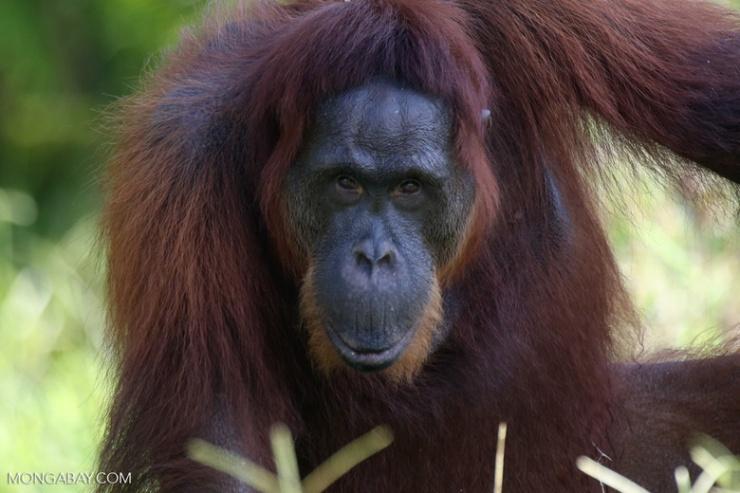 婆羅洲人猿(Pongo pygmaeus)是兩種人猿品種的其中一種。另一個則是蘇門答臘人猿(Pongo abelii)。圖為在加裏曼丹的婆羅洲人猿(Rhett A. Butler攝影)。