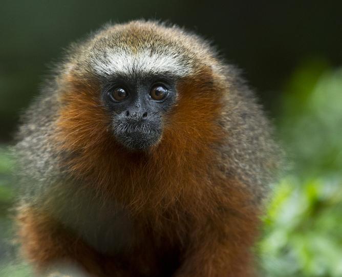 Red Titi Monkey