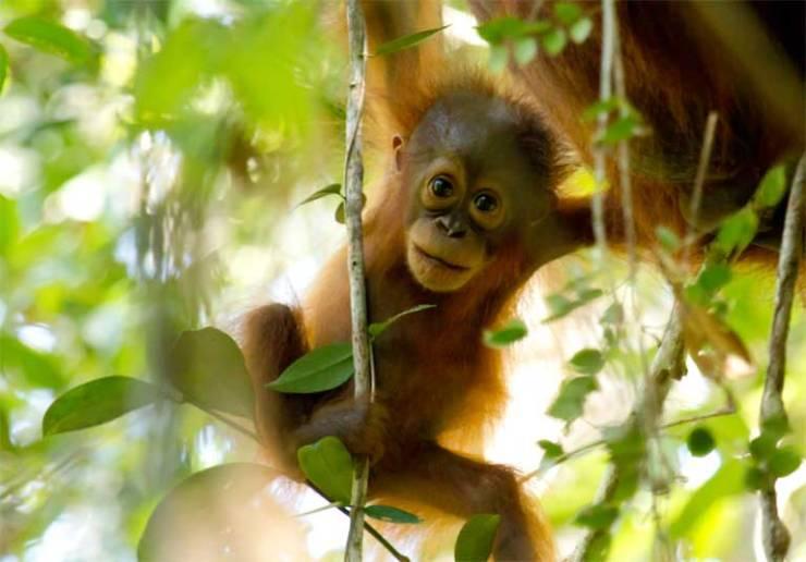 0-bornean-orangutan-in-sabangau_bernat-ripoll_outrop