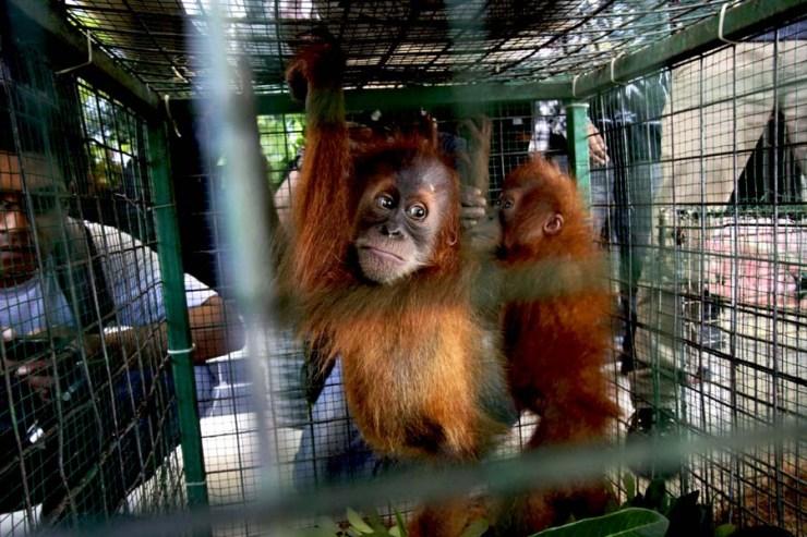 bayi-orangutan-yang-disita-dari-pedagang-illegal-2