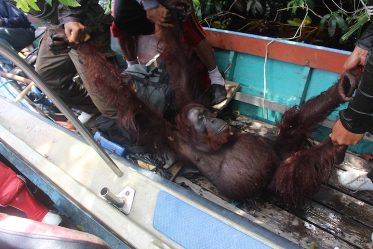 mkaye_orangutantranslocation5