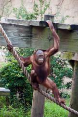orangutan-0141-2477