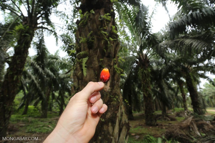 palm-fruit-aceh-in-plantation