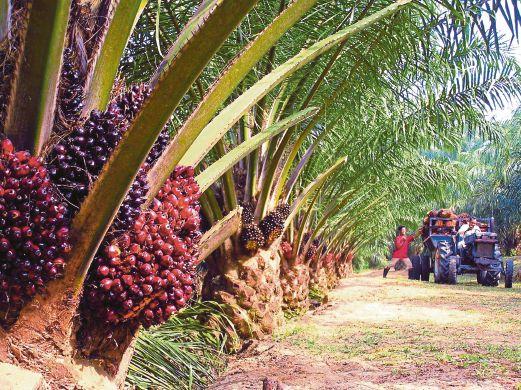 KUALA LUMPUR 24 OCTOBER 2016. Ladang kelapa sawit. NSTP/Ihsan PEMBACA