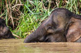 tapang_elephant01