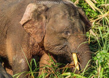 tapang_elephant03