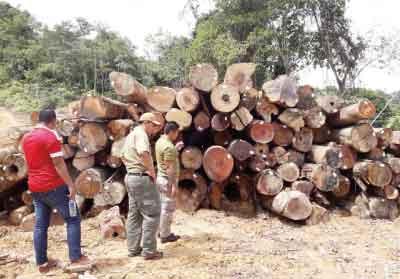bintulu logging illegal
