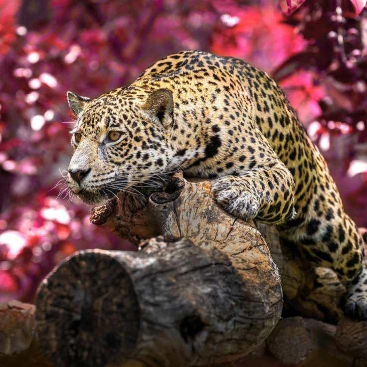 遠東豹(Amur Leopard)— 分佈在俄羅斯遠東地區,目前僅剩84頭,瀕臨滅絕。