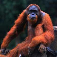 蘇門答臘猩猩(Sumatran Orangutan)—曾在蘇門答臘島上甚至在爪哇島南部發現,但如今只在北部發現,其數量為1萬4614頭。