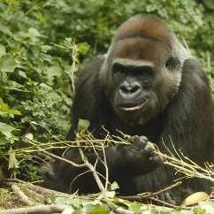 西部低地大猩猩(Western Lowland gorilla)—雖然牠是所有大猩猩物種中最多數量的,但西部低地大猩猩仍處於極度瀕危狀態,其數量在過去25年來下降了60巴仙。