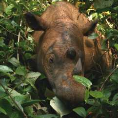 蘇門答臘犀牛(Sumatran Rhinoceros)— 是现存最小的犀牛,如今僅剩80頭。馬來西亞最後一隻雄性蘇門答臘犀牛在2019年5月28日死亡。
