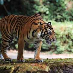 蘇門答臘虎(Sumatran Tiger)—如今全世界剩下少於400頭蘇門答臘虎,大部分因森林采伐和獵殺而生命受威脅。