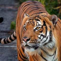 馬來亞虎(Malayan Tiger)—分佈於馬來西亞半島南部和泰國境內,目前估計僅有250至300頭。