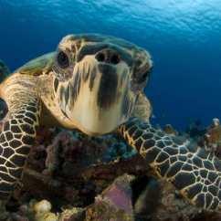 鷹嘴龜(Hawksbill Turtle)— 在上個世紀,鷹嘴龜的數量下降了80巴仙以上,它們受到黑市偷獵者的威脅,這些偷獵者為了其外殼而獵捕殺害。