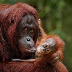 婆羅洲猩猩(Bornean Orangutan)— 在過去的60年裡,婆羅洲猩猩的數量減少了50巴仙以上,現在約為104,700人。 在21世紀,他們的棲息地減少了至少50巴仙。